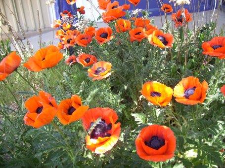 Flowers 5-21-12 002